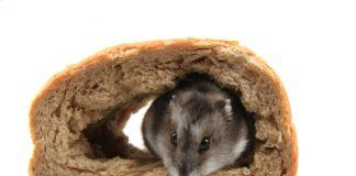 dzungarian-hamster-in-tunnel-made-in-bread