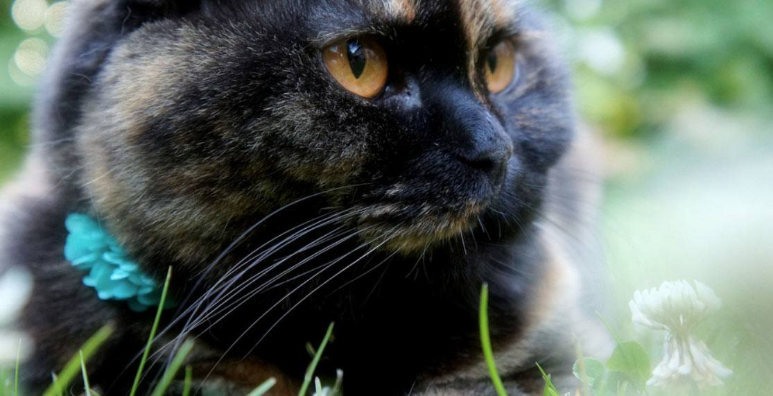 scottish-fold-black-cat-breed