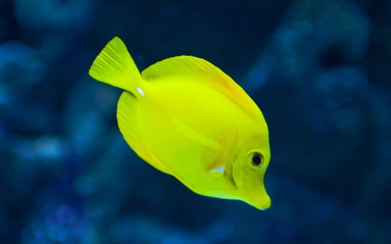 Saltwater tang fish great for beginners
