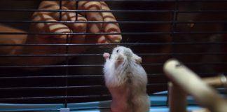 winter white dwarf hamster care guide