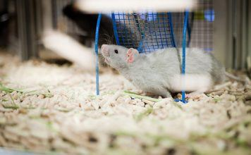 Best bedding for rats that are pets