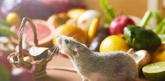 Best rat food