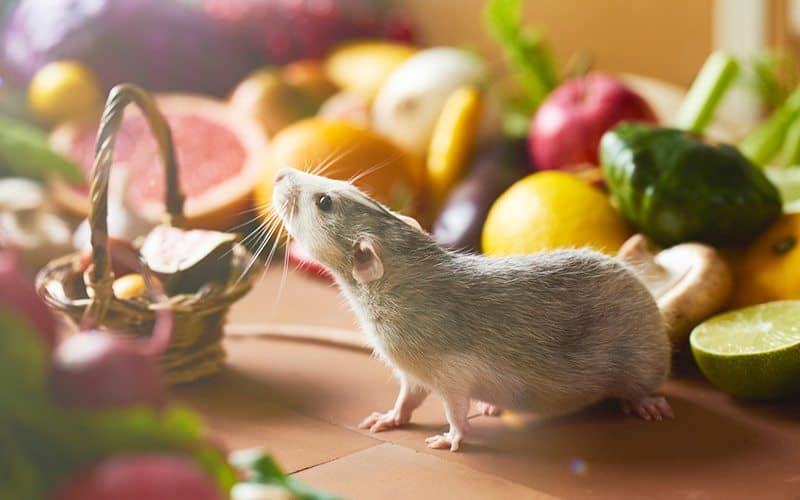Best Rat Food Brands For Your Pet Rat Keep Them Happy
