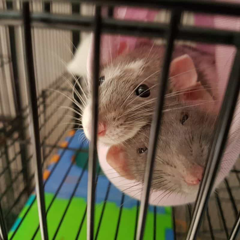 Rats Cuddling in Cage