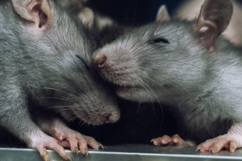 Rats Showing Affection to One Another