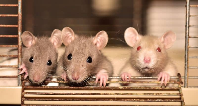 What is a Group of Rats Called