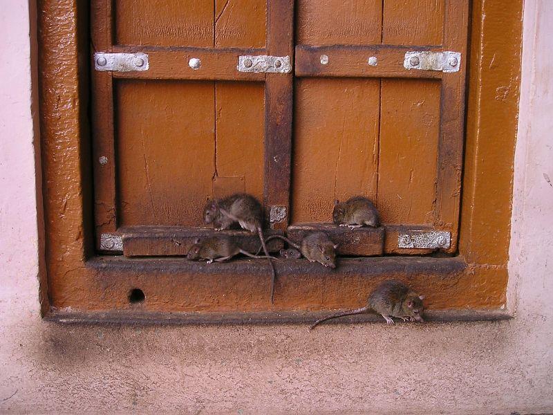 A Mischief of Wild Rats