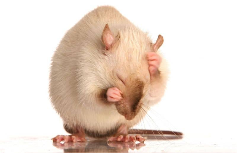 Are Pet Rats Hygienic