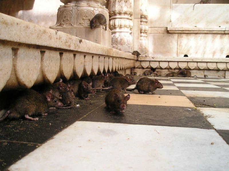 Black Rats at Karni Mata Temple India