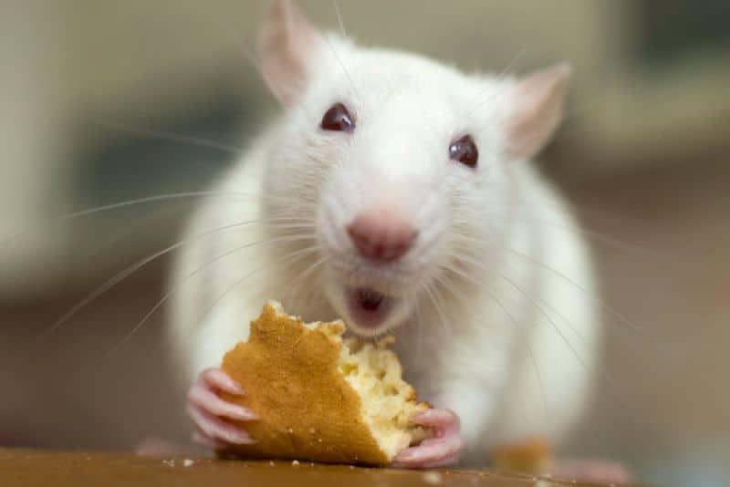 Pet Rat Eating Bread