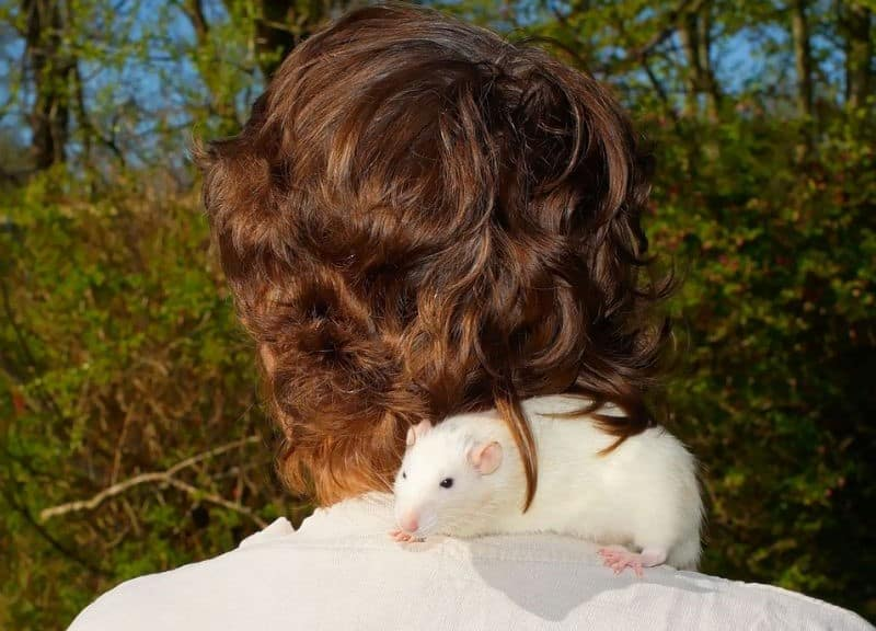 White Pet Rat Sitting Across Shoulders