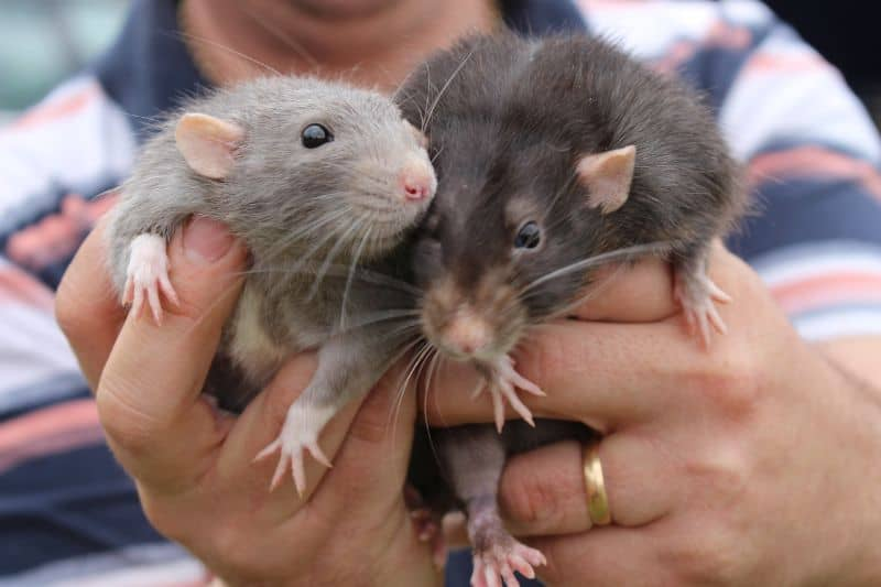 Wild Rats VS Pet Rats - What is the Difference